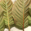 Red, Green & White Kratom Effects Explained