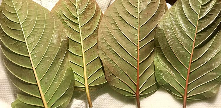 red kratom leaves
